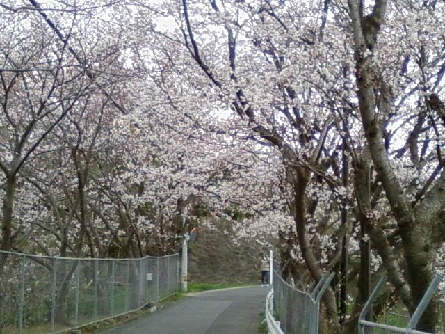 桜並木 犬の散歩コース